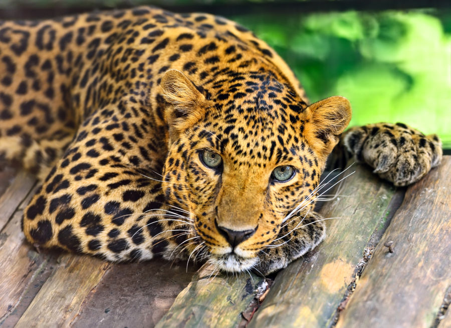 An Asian Leopard Awakes: The Rise of Sri Lanka; Singapore's New Business Companion